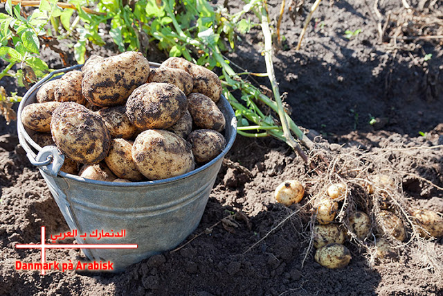 صورة هل سمعت يوما بـ عطلة البطاطا في الدنمارك ؟