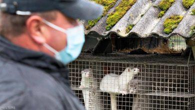 صورة مذبحة بسبب كورونا.. إعدام 2.5 مليون حيوان في الدنمارك